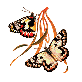 Butterfly Conservation SA Inc.
