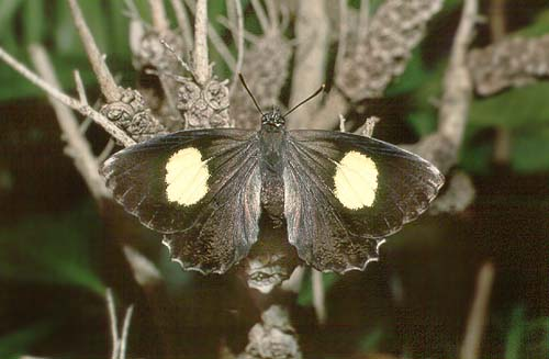 abrota adult female