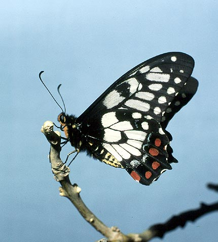 PAPILIONIDAE (Swallowtails)