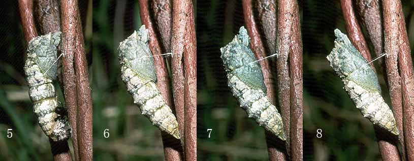 anactus_pupating2.jpg (76.2 KB)
