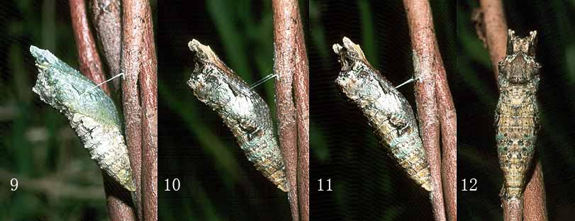 anactus_pupating3.jpg (68.1 KB)