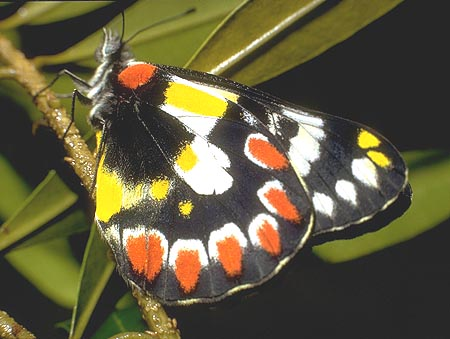 PIERIDAE (Whites and Yellows)